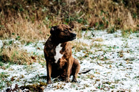 Dog_photographer_Derbyshire_Staffordshire_Bull_Terrier-11
