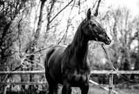 Arabian-mare-equine-photographer-derbyshire-6