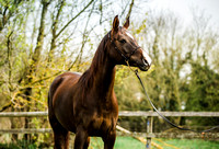 Arabian-mare-equine-photographer-derbyshire-5