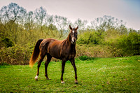 Arabian-mare-equine-photographer-derbyshire-10