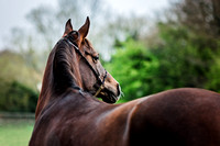 Arabian-mare-equine-photographer-derbyshire-13