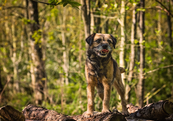 Border Terrier - Leicestershire dog photography