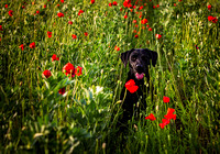 Maggie in the Poppies