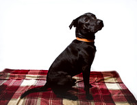Dog_portraits_photographer_Leicestershire-18