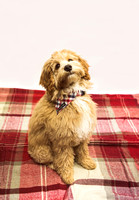 Dog_portraits_photographer_Leicestershire-17