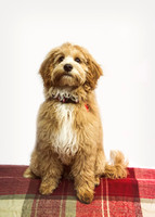 Dog_portraits_photographer_Leicestershire-11