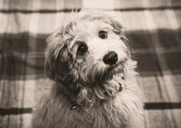 Dog_portraits_photographer_Leicestershire-7