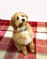 Dog_portraits_photographer_Leicestershire-5