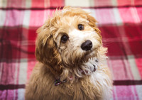 Dog_portraits_photographer_Leicestershire-6