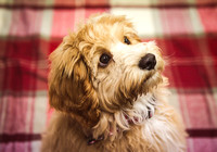 Dog_portraits_photographer_Leicestershire-8