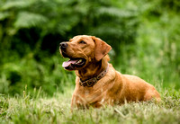 Labrador_dog_photography-6