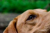 Labrador_dog_photography-17