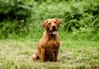 Labrador_dog_photography-2