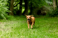 Labrador_dog_photography-12