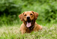 Labrador_dog_photography-5