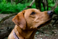 Labrador_dog_photography-18