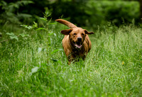 Labrador_dog_photography-10