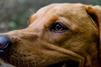 Labrador_dog_photography-16